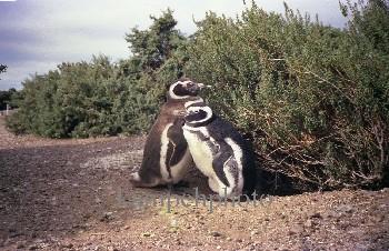 c.KampehShiino-Valdez-Penguinos1